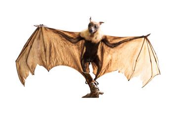 Brown bat flying fox