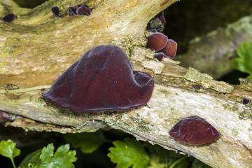 Auricularia auricula, Ear fungus, Jews ear, Jelly ear, Fungi.