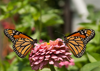 Two gorgeous, colorful Monarch butterflies on a pink Zinnia