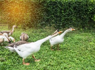 domestic chinese gooses  in farm