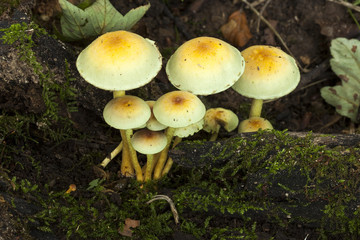 Wood Blewit fungi.