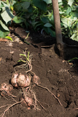 Harvesting Japanese sweet potato called Anno imo