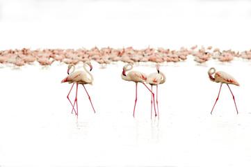 high key photo of Lesser flamingos on the white background of Nakuru lake
