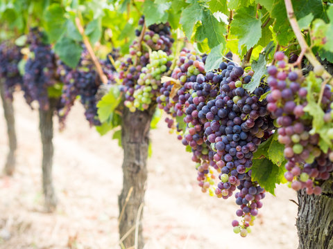 Bunches of cabernet sauvignon grapes growing in a vineyard in Bo