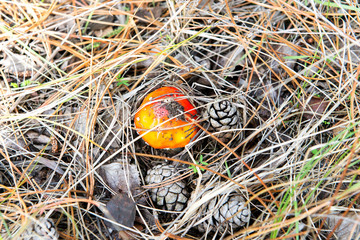Amanita muscaria (Fly Agaric or Fly Amanita). Red mushroom in spruce needles and cones.