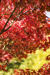 colorful maple leaves in fall at low mountain range sauerland, germany
