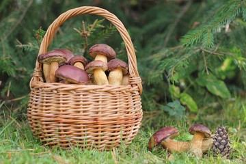 Wicker basket full of wild mushrooms and scattered mushrooms lying in the grass at forest. Autumn time