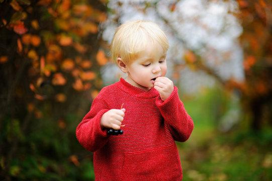 Toddler boy picking black currants in garden