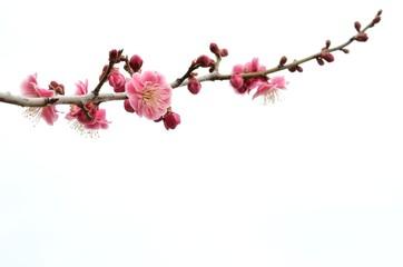 梅の花 白バック