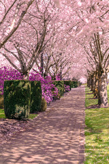 Cherry trees in full bloom along a pathway.