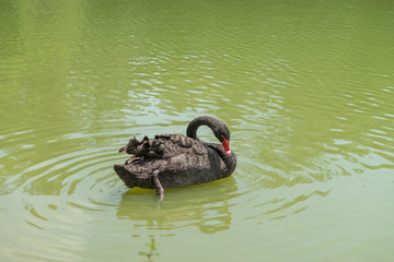 Duck swimming at the Aclimacao Park in Sao Paulo