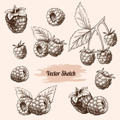 Vector raspberries hand drawn sketch. Sketch vector  food illustration. Vintage style