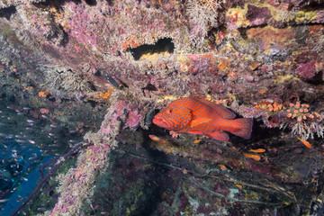 Grouper and Luminous cardinalfish in Underwater Wreck