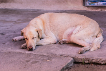 Thai white stray dog sleeping