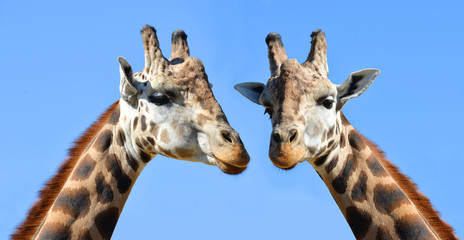 Two giraffes in the background blue sky