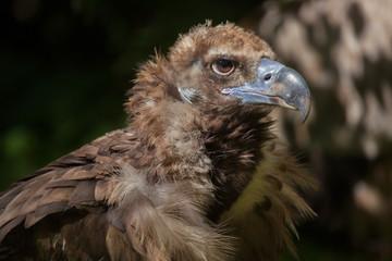 Wall Mural - Cinereous vulture (Aegypius monachus)