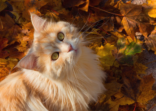 Maine Coon cat sitting on colourful autumn leaves