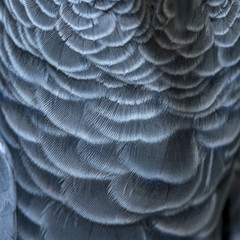 Close-up Feathers of Cockatoo bird,beautiful feathers