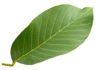 walnut leaf isolated on the white background