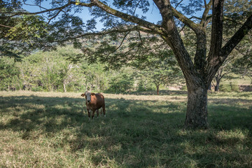 Bull under a tree