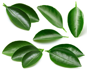 Citrus leaves isolated
