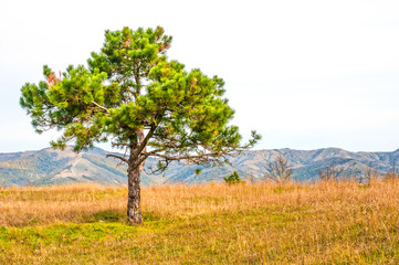 Landscape with alone pine tree