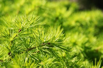 Fresh green larch branches