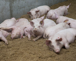 Pigs on swarf in stable