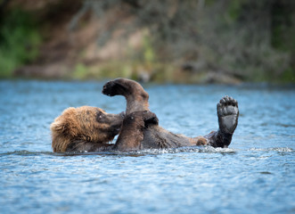 Alaskan brown bear playing