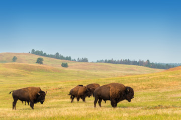 Door stickers Bison Herd of Buffalo