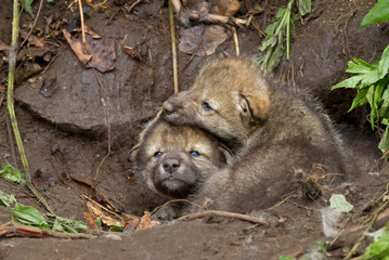 Timber wolf pups playing by the den in Canada