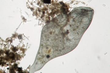 Stentor or trumpet animalcules is filter-feeding, heterotrophic protozoan ciliate. Microorganism in freshwater