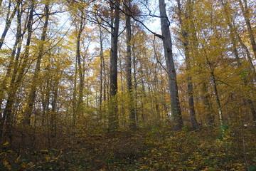 Autumn forest. Transcarpathia