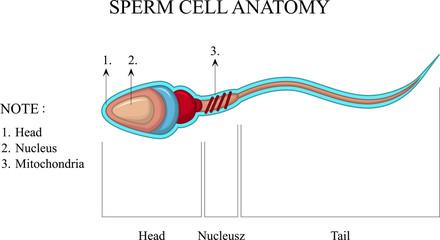 Human Sperm cell Anatomy