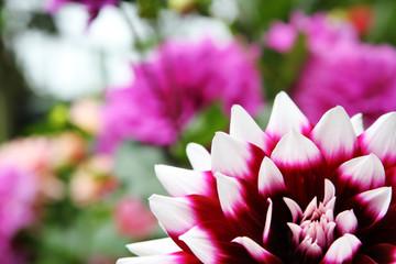 Blooming Dahlia in  raining season