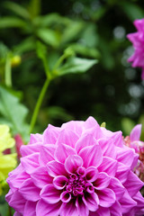Blooming Dahlia in raining season
