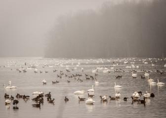 Geese Swimming on Lake