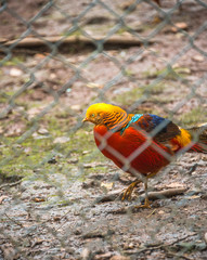 High Angle View Of Golden Pheasant In Cage at zoo.