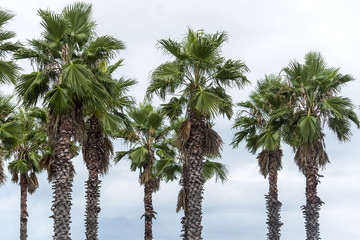 Row of the Palm trees