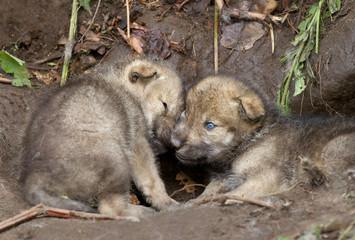 Timber wolf cubs playing near their den