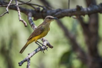 Tropical kingbird on branch in dappled sunlight