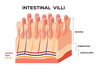 Intestinal villi anatomy, small intestine lining.