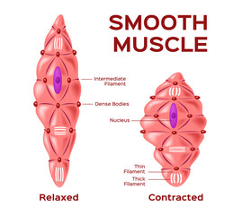 smooth muscle cell vector . anatomy . relaxed and contracted muscle cell
