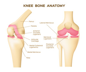 knee bone vector . anatomy . human knee infographic