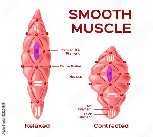 smooth muscle cell vector   anatomy   relaxed and contracted muscle cell
