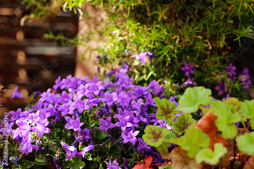"garten blumen lila, glockenblumen - lila blumen im garten - gartenblumen"" stock photo, Design ideen"