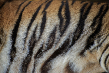 Stripes of a tiger.