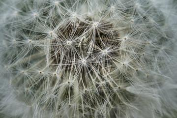 Dandelion Makro