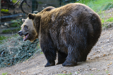 a cute brown bear sniffing