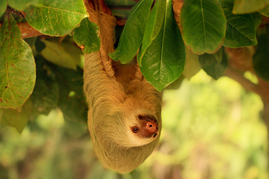 Sloth hanging from the tree in Costa Rica. Hoffmann's two-toed sloth (Choloepus hoffmanni) is a species of sloth from Central and South America.
